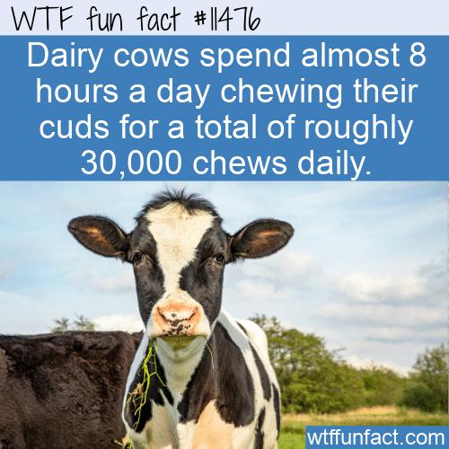 WTF Fun Fact - Chew Chew Chew