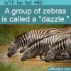 WTF Fun Fact – Dazzle