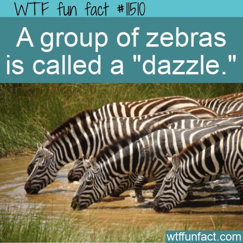WTF Fun Fact - Dazzle