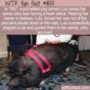 WTF Fun Fact –  Lifesaving Pig Lulu