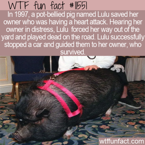 WTF Fun Fact - Lifesaving Pig Lulu