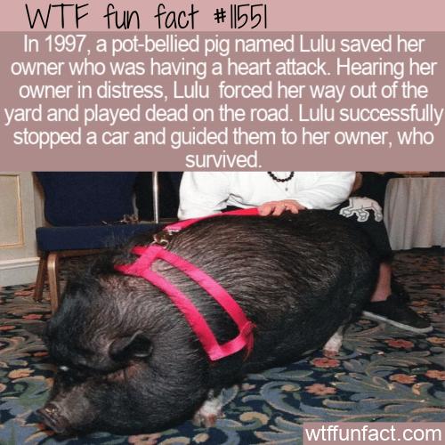 WTF Fun Fact - Lifesaving Pig Lulu