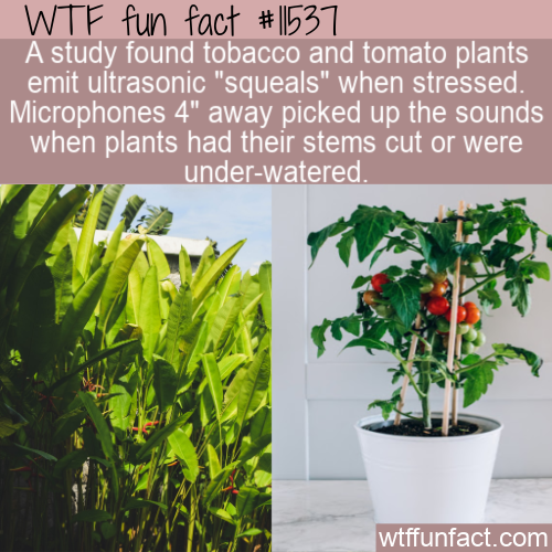 WTF Fun Fact - Squealing Plants