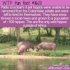 WTF Fun Fact – Colombia's Thriving Hippo Population