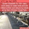 WTF Fun Fact – Cows Getting Royal Treatment