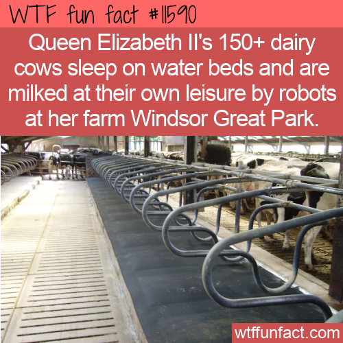 WTF Fun Fact - Cows Getting Royal Treatment