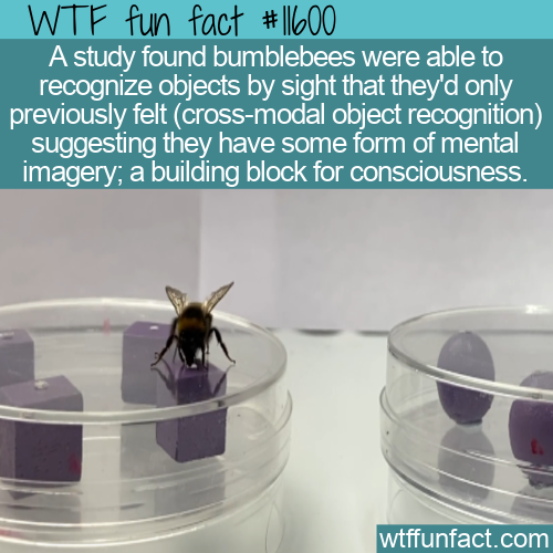 WTF Fun Fact - Cross-Modal Object Recognition in Bumblebees