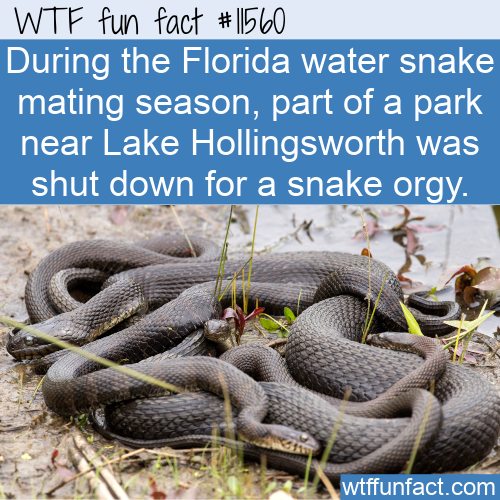 WTF Fun Fact - Florida Water Snake Orgy