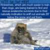WTF Fun Fact –  Wolverines To The Rescue