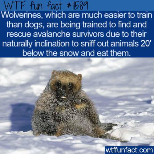 WTF Fun Fact - Wolverines To The Rescue