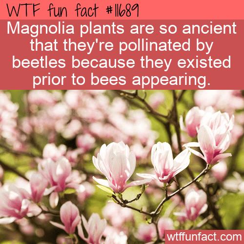 WTF Fun Fact - Ancient Magnolias