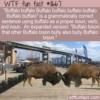 WTF Fun Fact – Buffalo buffalo Buffalo buffalo buffalo buffalo Buffalo buffalo