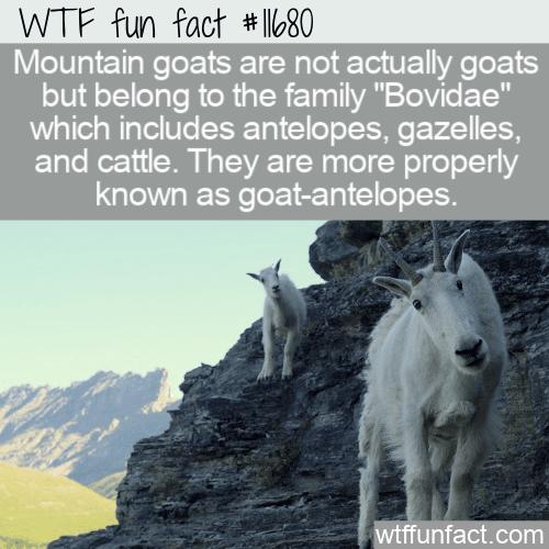 WTF Fun Fact - Goat-Antelopes
