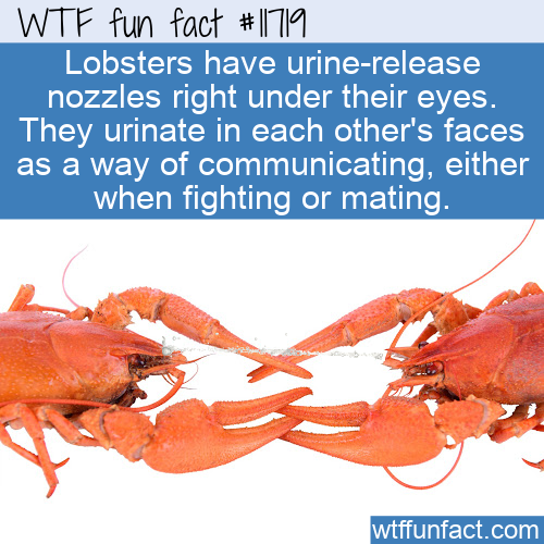 WTF Fun Fact - Lobsters Communicate With Urine