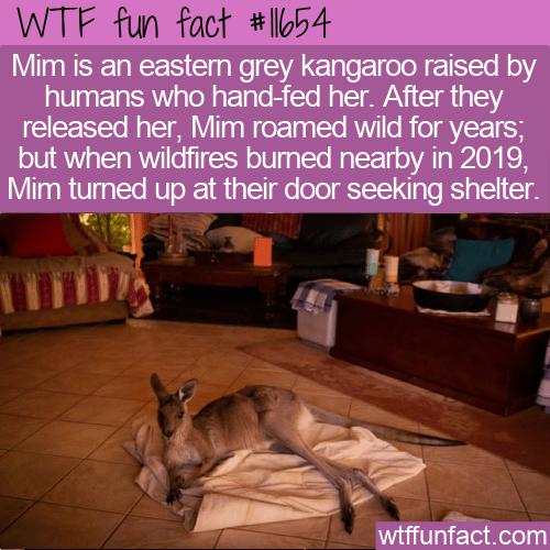 WTF Fun Fact - Mim The Kangaroo