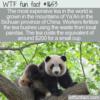 WTF Fun Fact – Panda Poo Tea