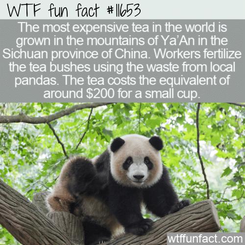 WTF Fun Fact - Panda Poo Tea