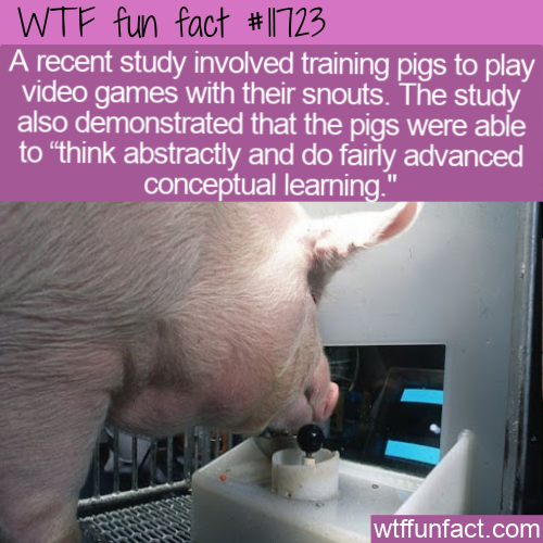 WTF Fun Fact - Pigs Playing Video Games