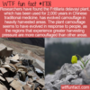 WTF Fun Fact – Plant Evolves Camouflage