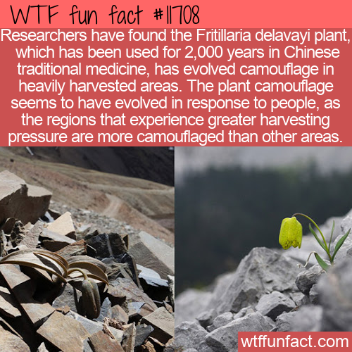 WTF Fun Fact - Plant Evolves Camouflage