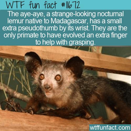 WTF Fun Fact - The Aye-Aye's Extra Pseudothumb
