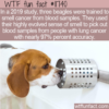 WTF Fun Fact – Beagles Can Smell Cancer
