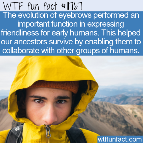 WTF Fun Fact - Eyebrow Evolution