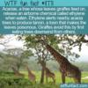 WTF Fun Fact – Giraffes vs. Acacias