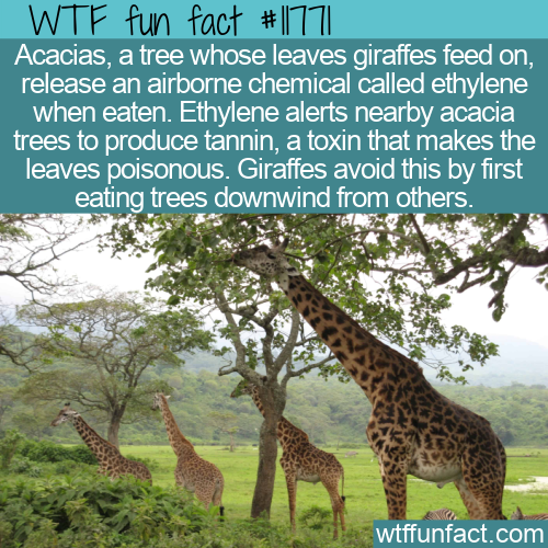 WTF Fun Fact - Giraffes vs. Acacias