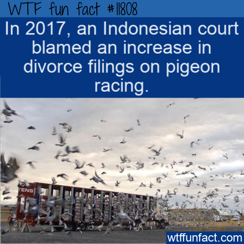WTF Fun Fact - Pigeon Racing Leads To More Divorces