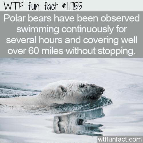 WTF Fun Fact - Polar Bears Are Impressive Swimmers