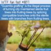 WTF Fun Fact – Guerrilla Grafting