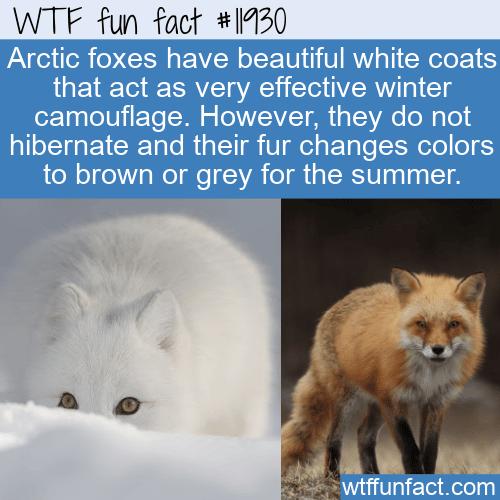 WTF Fun Fact - Arctic Fox's Colorful Fur