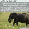 WTF Fun Fact – Elephants Hear With Their Feet