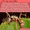 WTF Fun Fact – Ophiocordyceps unilateralis