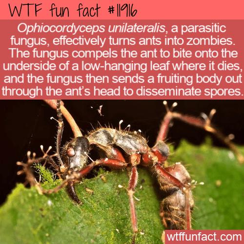 WTF Fun Fact - Ophiocordyceps unilateralis