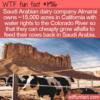 WTF Fun Fact – How To Feed Saudi Arabian Cows
