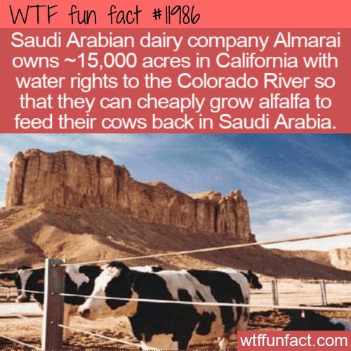 WTF Fun Fact - How To Feed Saudi Arabian Cows