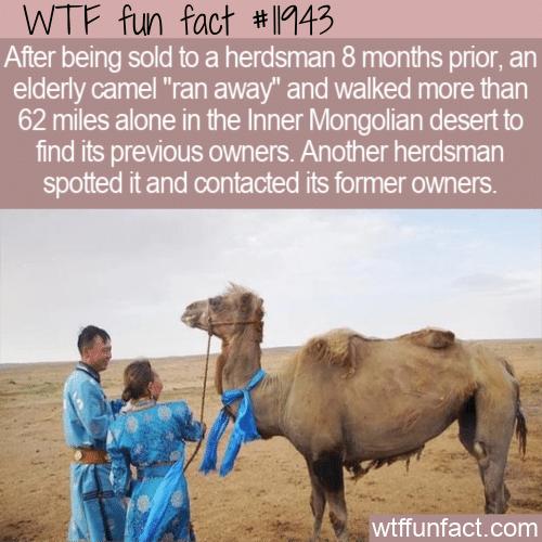 WTF Fun Fact - Loyal Camel Walks 62 Miles