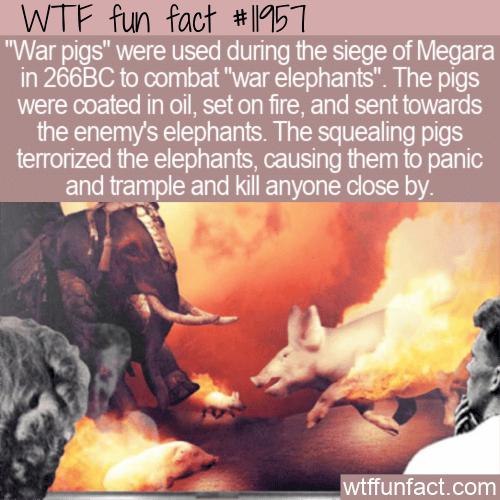 WTF Fun Fact - War Pigs vs War Elephants