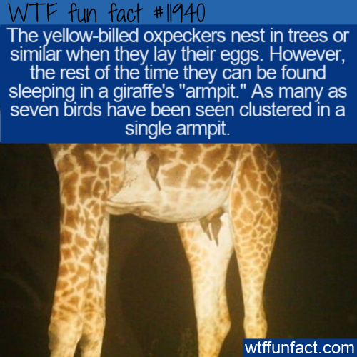 WTF Fun Fact - Yellow-Billed Oxpecker's Odd Sleeping Place