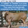 WTF Fun Fact – Beefalo
