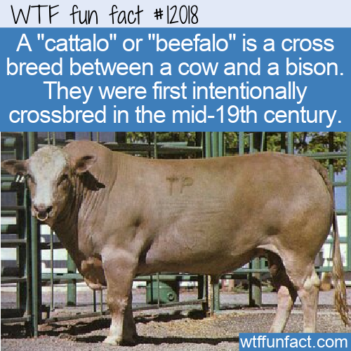 WTF Fun Fact - Beefalo