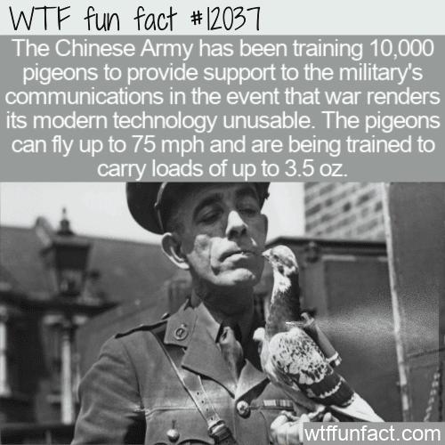 WTF Fun Fact - Modern War Messenger Pigeons
