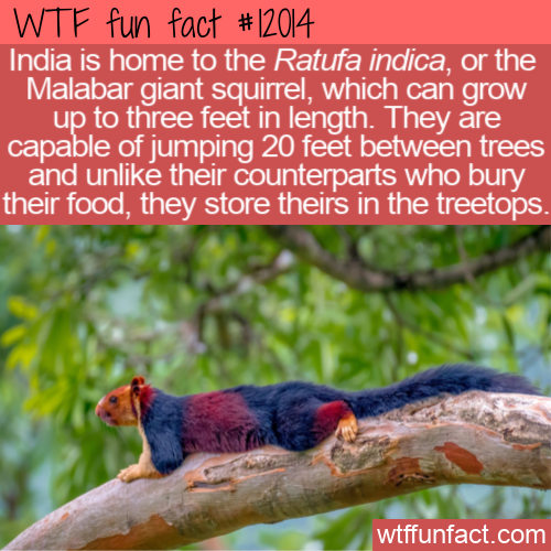 WTF Fun Fact - The Colorful Malabar Giant Squirrel