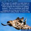 WTF Fun Fact – The Reason For The Giraffes Dark Tongue
