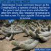 WTF Fun Fact – Creeping Devil Cactus