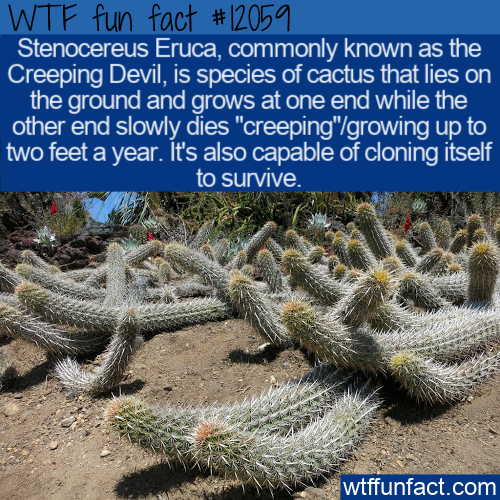 WTF Fun Fact - Creeping Devil Cactus