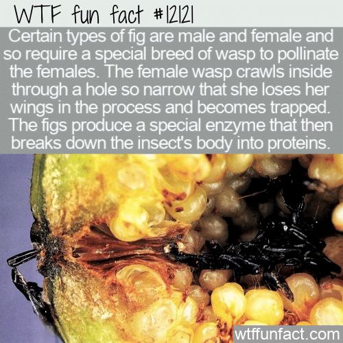 WTF Fun Fact - Dead Wasps In Figs