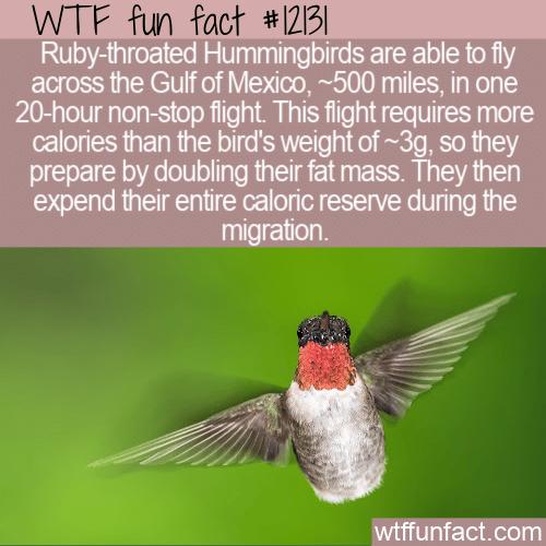 WTF Fun Fact - Hummingbirds That Double Their Size